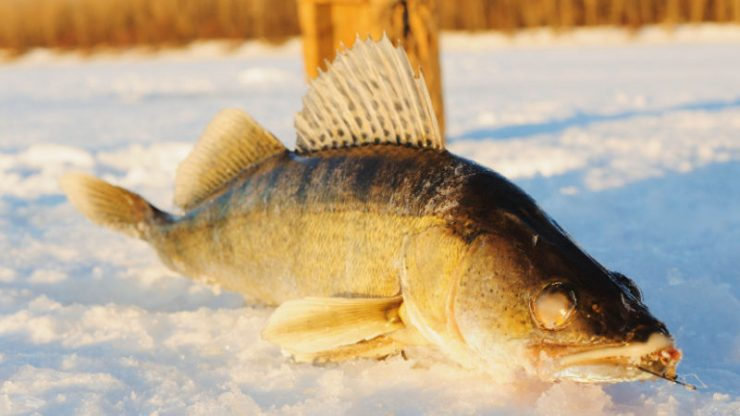 Best Ice Fishing Lures for Walleye