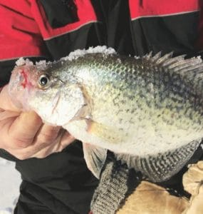 Large crappies caught by an ice fisherman.