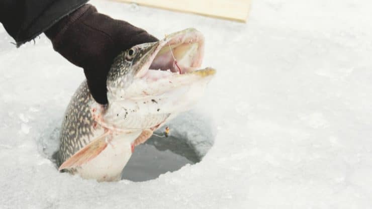 Large Northern Pike being pulled from the ice.